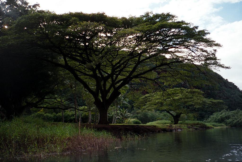 Waimea Valley trees, by kayak 2000 Jan