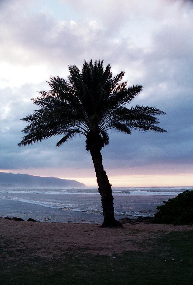 Ali'i palm tree - Hale'iwa, HI  2000 Feb