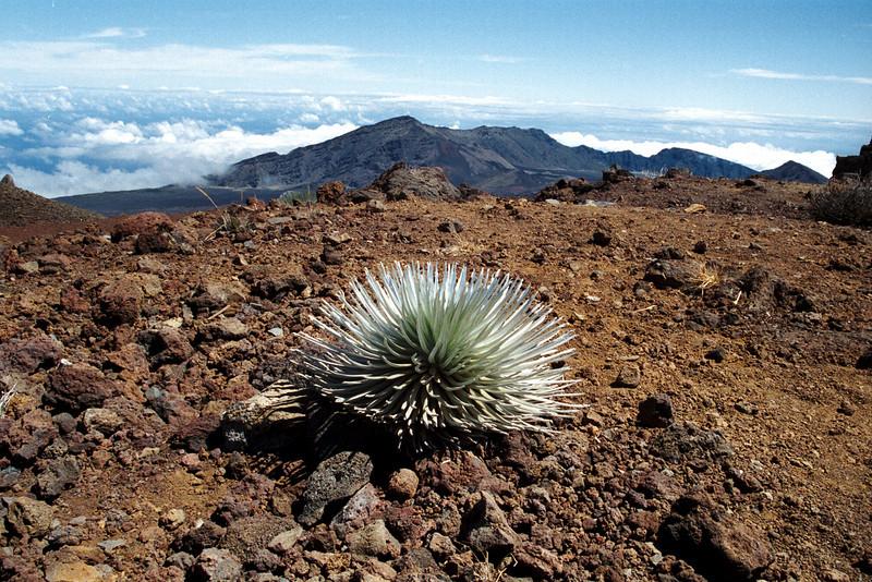 silversword plant<br /> Haleakala National Park<br /> Maui 1999
