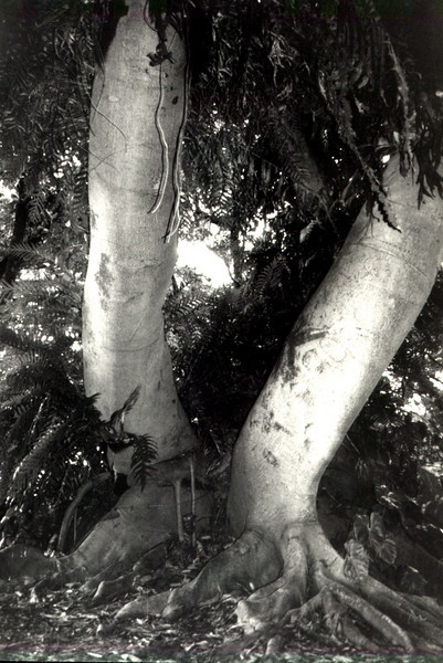'Green Giant' tree, O'ahu 1999