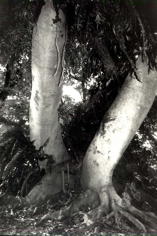 'Green Giant' tree, O'ahu 1999