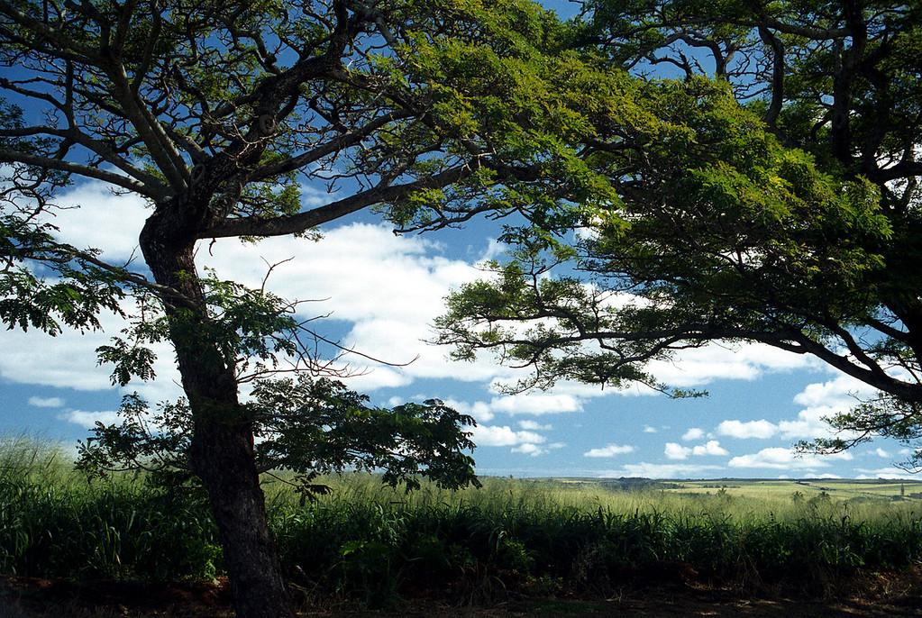 Hale'iwa trees & fields 2000 Jan