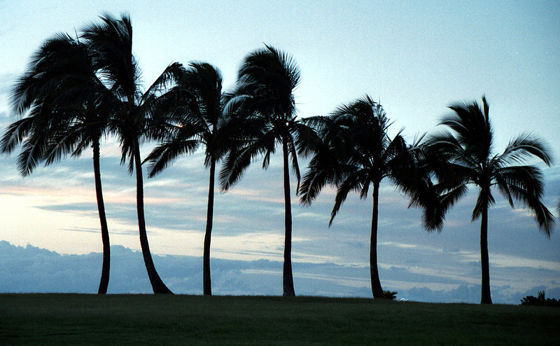palm trees @ Ali'i Beach Park 1999 July