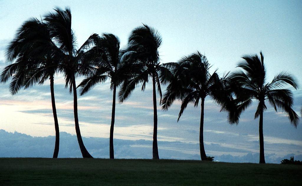 palm trees @ Ali'i Beach Park 1999 July