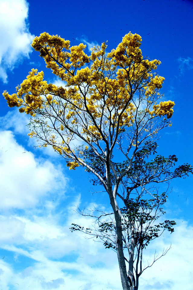 sun-shower tree - Hale'iwa, HI  2000 April