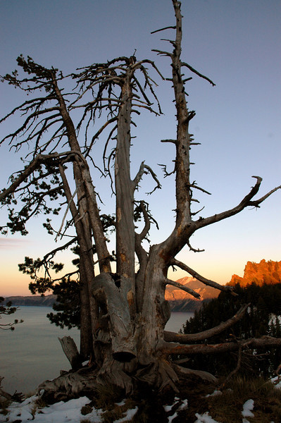 weather-beaten tree on rim of Crater lake caldera, Oregon 9-16-2006