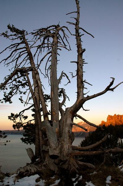 weather-beaten tree on rim of Crater lake caldera, Oregon 9-16-2006
