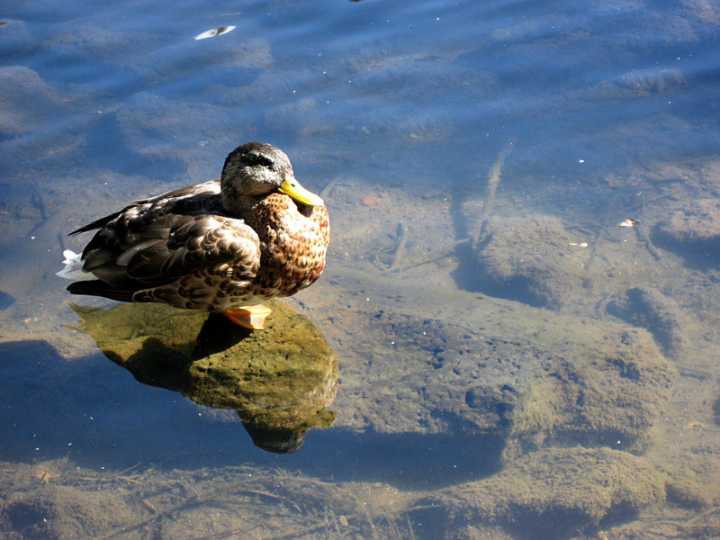 duck on a rock-Deschutes river-Bend, OR 9-2006