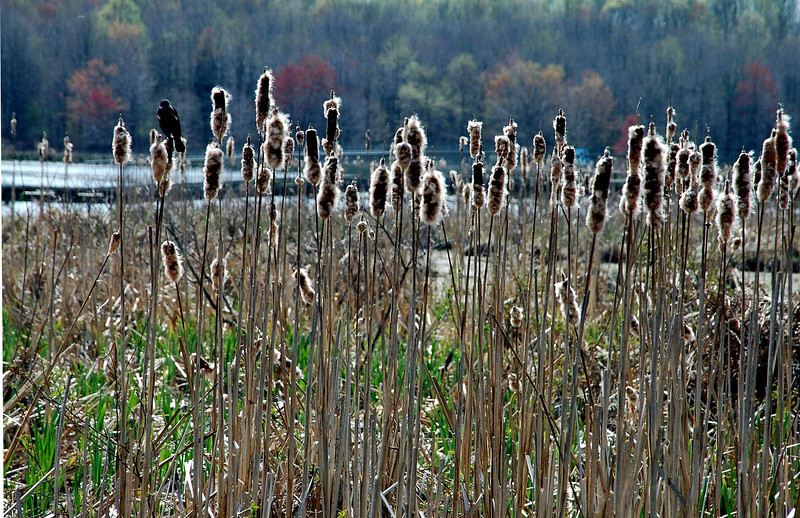 bird on cattail-Huntley Meadows-Alexandria, VA 4-2006
