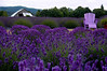 Angel Farm lavender field & Adirondack chair - Sequim, WA 7-2006