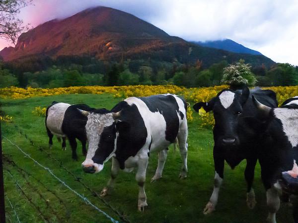 cows & Mount Si @ sunset-North Bend Way, WA 5-24-2012