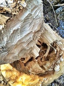 beaver dental impressions-Cabin Creek area, WA 1-25-2015