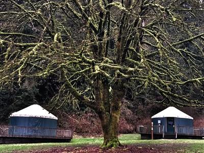 yurts & mossy tree @ Tolt-McDonald campground-Carnation, WA 1-15-2015