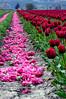 tulips mourning their fallen comrades - Skagit Valley, WA 4-18-2006