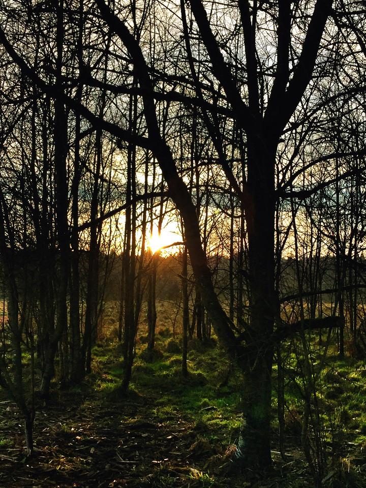 sunset through the trees @ Marymoor dog park-Redmond, WA 1-14-2015