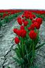 red tulip platoon-Skagit Valley, WA 4-18-2006
