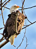 Bald eagle, blue sky-Edgewick-North Bend, WA 5-23-2014