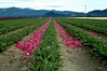 pink petaled path of tulips-Skagit Valley, WA 4-18-2006