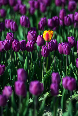 tulip outcast-Skagit Valley, WA 4-10-2014
