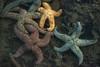 starfish close-up-Coupeville Wharf-Whidbey Island, WA 3-4-2013_Snapseed