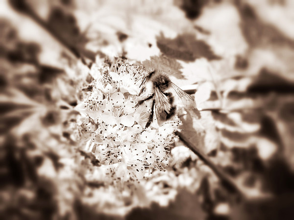 bumble bee on flowers @ Three Forks dog park-Snoqualmie, WA 6-1-2013 sepia