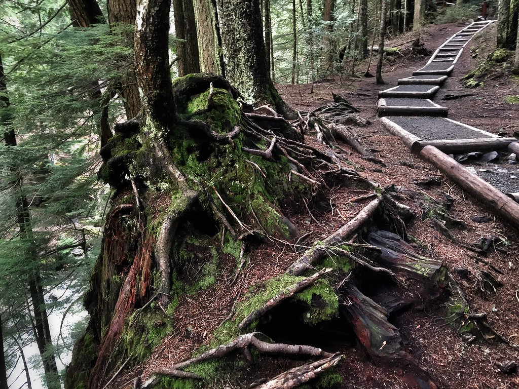 tree rooted on cliffside next to Franklin Falls trail-above Denny Creek, WA 2-12-2015