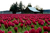 pink tulips & old barn-Skagit Valley, WA 4-18-2006