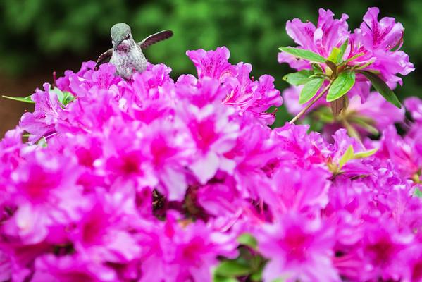 hummingbird balanced on rhodies-North Bend, WA 5-17-2015