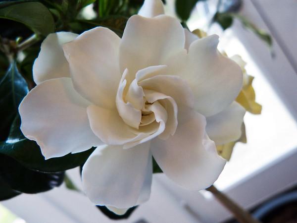 gardenia blossom - North Bend, WA