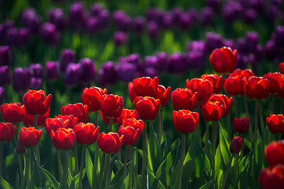 red & purple tulip rows, close-up-Skagit Valley, WA 4-10-2014