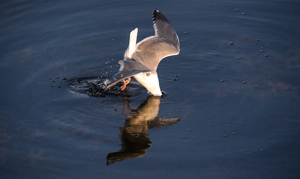 seagull fishing-Coupeville Wharf, WA 3-4-2013