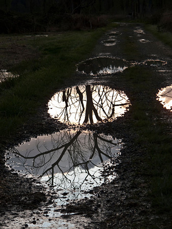 tree reflected in puddles along Carnation-Fall City Rd-203, WA 3-31-2010