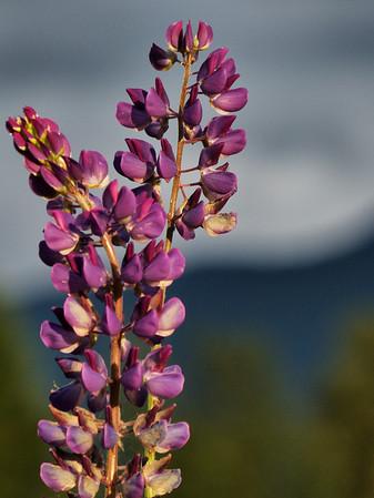purple wildflowers-SnoValley trail meadow-North Bend, WA 6-13-2013