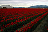 red tulip rows-Skagit Valley, WA 4-18-2006