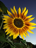 sunflower in Marymoor Community Gardens-Redmond, WA 7-24-2012