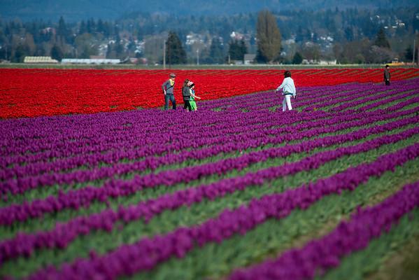 red & purple tulip fields-Skagit Valley, WA 4-10-2014
