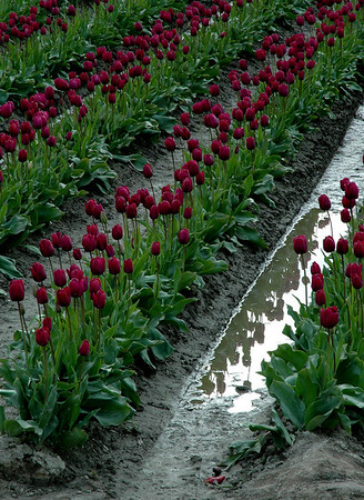purple tulips reflecting in puddle-Skagit Valley, WA 4-18-2006