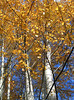yellow leaves, white trunks, blue sky-Matthews Beach, Seattle 11-2005
