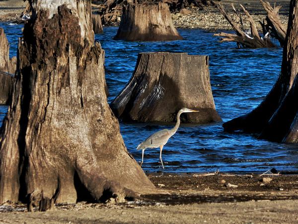 Great Blue Heron-Rattlesnake Lake-North Bend, WA 1-3-2013