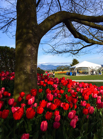 red & pink tulips beneath tree @ Roozengarde-Skagit Valley 4-10-2014