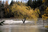 windswept, waveswept-tree in flooded riverfront park-downtown Snoqualmie, WA 11-7-2006