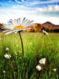 daisy in meadow @ Tanner Landing Park-North Bend, WA 6-5-2014