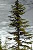 evergreen on ice-Mt Rainier NP 6-14-2006