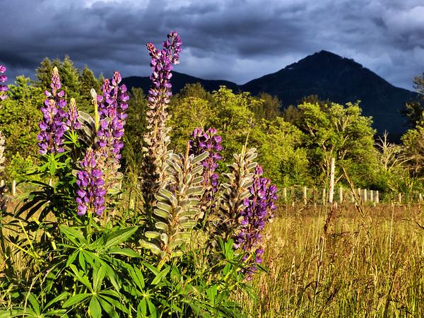 purple wildflowers & Mt WashingtonSnoValley trail meadow-North Bend, WA 6-13-2013