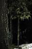 moss-draped tree in Kachess Lake Sno-Park, WA 3-25-2006