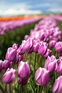 purple tulips-Skagit Valley, WA 4-11-2015