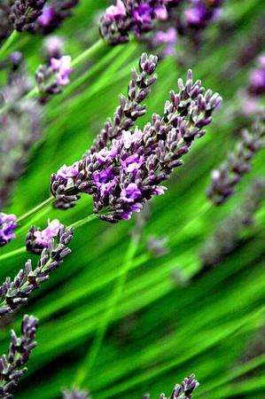 lavender close-up-Sequim, WA 7-2006