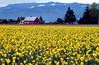 red barn, yellow daffodil field-Skagit Valley, WA 4-18-2006
