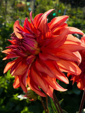 orange flower @ Marymoor Community Garden plots-Redmond, WA 7-24-2012