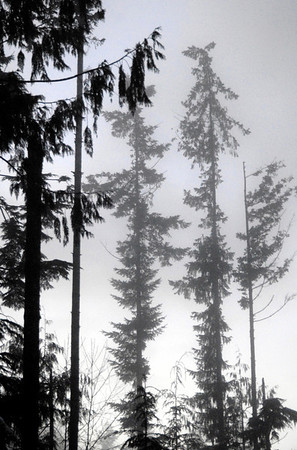 trees in the mist-North Bend, WA 12-1-2006